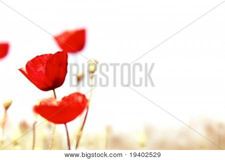 spring blur - poppy field background