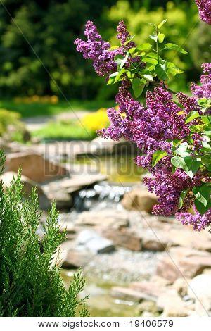 Lilac bush in botanical to a garden