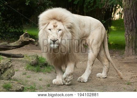 Poster Of Male White Lion The Lions Are A Colour Mutation Transvaal Panthera Leo Krugeri