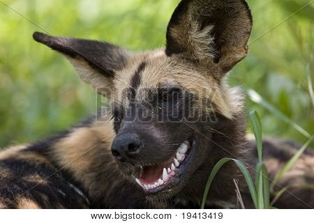 Wild dog; Lycaon pictus;  South Africa