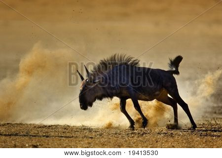 Blue wildebeest : connochaetes taurinus : South Africa : Kalahari dessert
