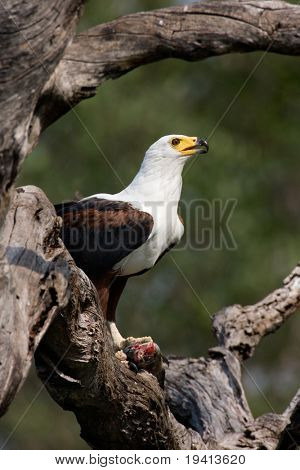 Águila de peces africanos; Haliaeetus Vocifer; Sudáfrica