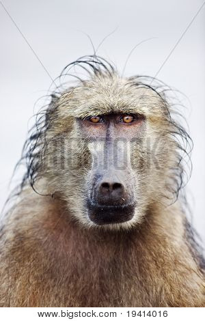 Close-up portrait of a wet baboon in rain; papio cynocephalus; South Africa