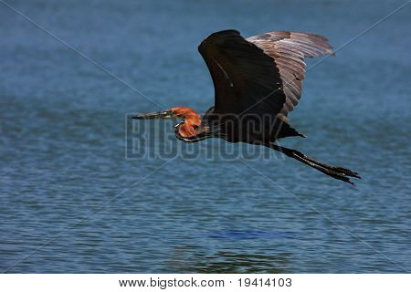 Goliath heron flying over water; Ardea goliath