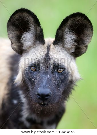 Portrait of a rare Wild dog; Lycaon pictus