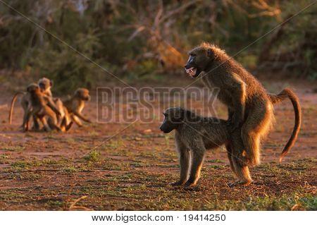Chacma baboons mating ; papio cynocephalus