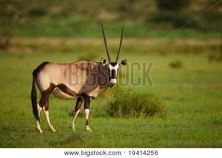 Gemsbok grazing in green grassfield; oryx gazella
