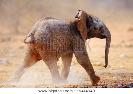 Baby Elephant running over dusty soil; Loxodonta Africana; Etosha