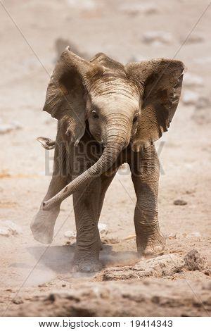 Baby Elephant mock charging; Loxodonta Africana; Etosha