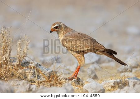 Juvenile Pale Chanting goshawk seeking prey in rocky field ; Melierax canorus