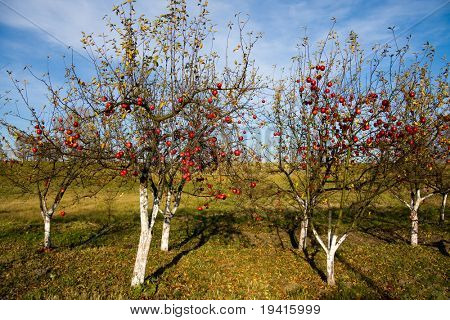 Red and ripe apples on apple trees in autumn