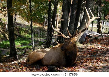 Male Deer Laying on the Ground