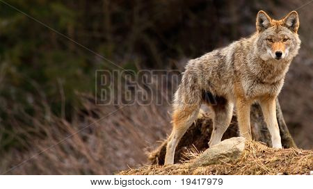 Coyote on Top of a Hill