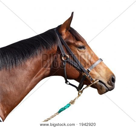 Racehorse With Halter