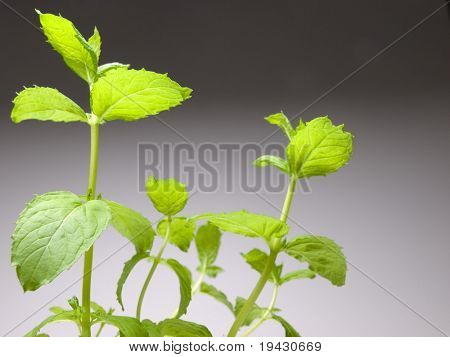 Mint plant on gray black background