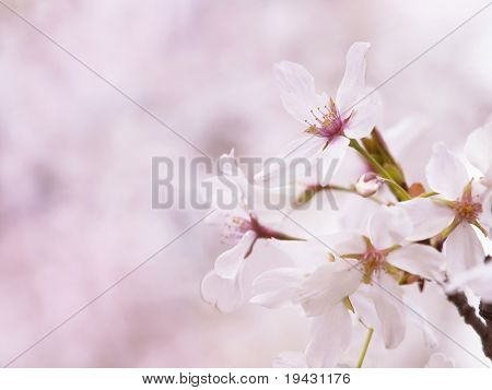 Cherry blossom flowers (someiyoshino species ) in full bloom.