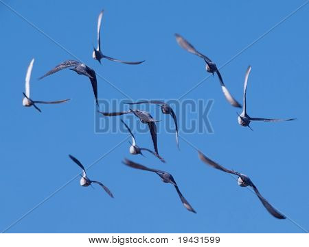 Flock of birds banking away
