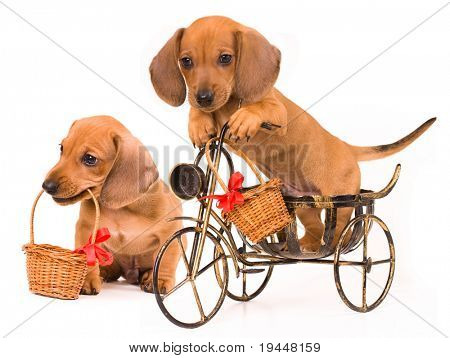 dachshund puppy bicyclist