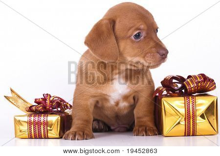 dachshund puppy and New Year gift