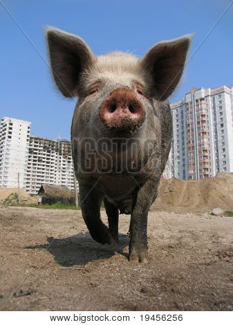 Big pig and modern apartment buildings