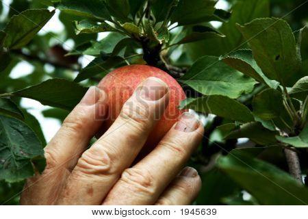 Hand einen Apfel pflücken