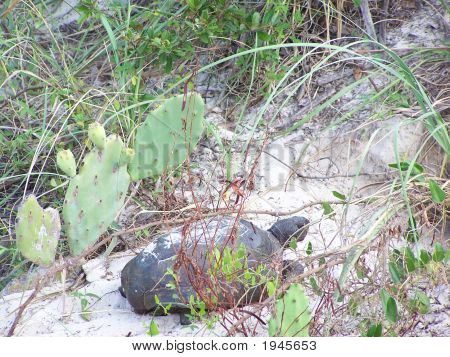 Gopher Tortoise At The Beach