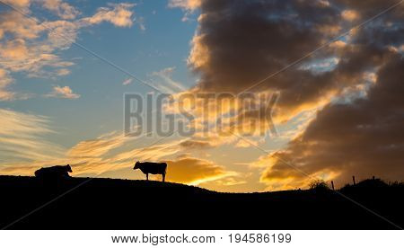 Some cattle on a hill as the sun comes up for another day.