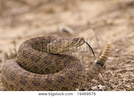 Western rattlesnake strike ready