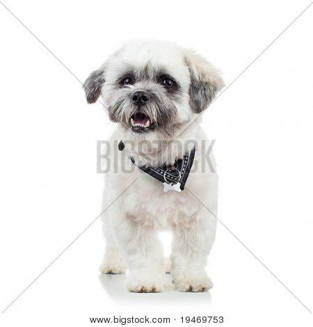 Cute Little Bichon Havanese Puppy