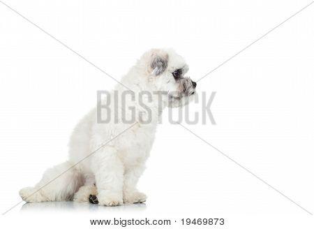 Bichon Havanese Puppy Looking Away