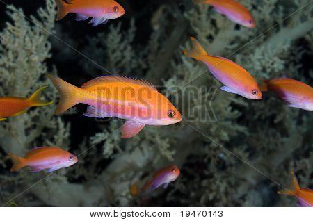 A school of anthias fish in Egyptian Red Sea fairy basslet Pseudanthias taeniatus