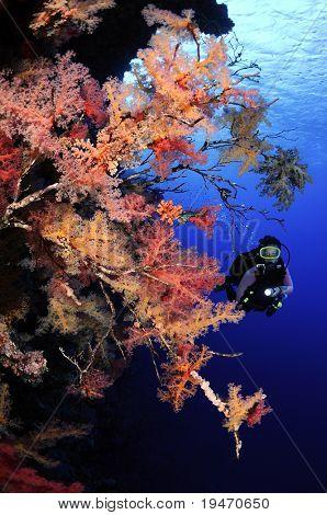 Soft corals and scuba diver