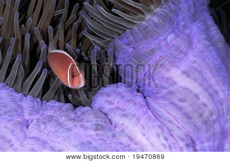 Nice anemone fish in his host colorful anemone