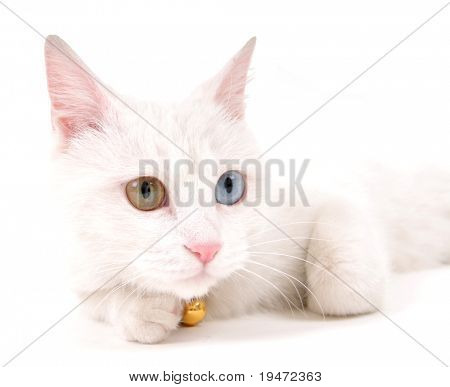 Portrait of a beautiful white cat with originally multicolored eyes