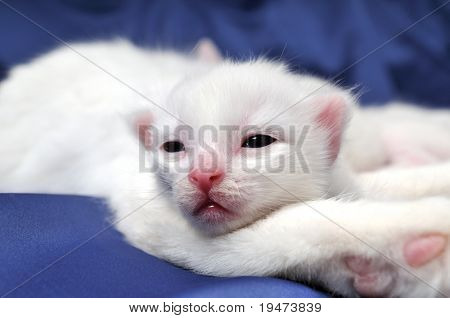 Little white kitten