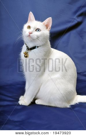 Portrait of a beautiful white cat with multicolored eyes.