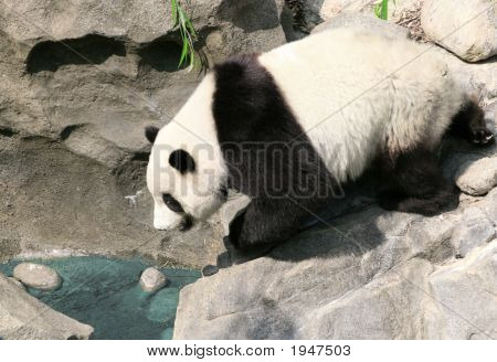 Panda Drinking