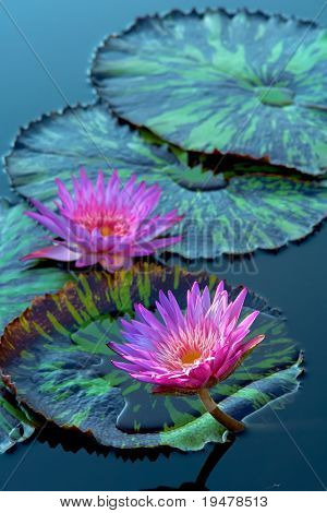 Two water lilys
