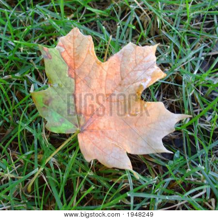 Maple Leaf Changing Colors