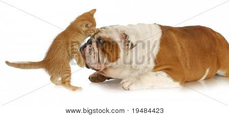 adorable kitten playing with english bulldog with reflection on white background