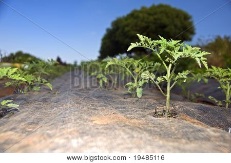 tomatoes seedlings in an organic vegetables garden