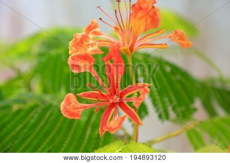 Poinciana Delonix Regia, flower only blooms in the summer time in Belize