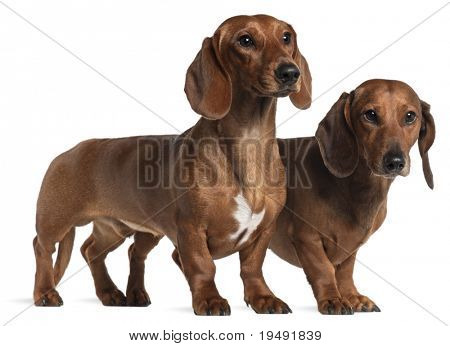 Dachshunds, 4 years old and 7 months old, standing in front of white background