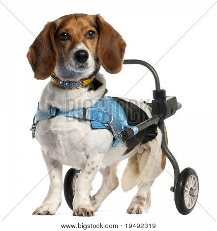 Paralyzed handicapped Basset Art©sien Normand dog, 8 years old, in front of white background