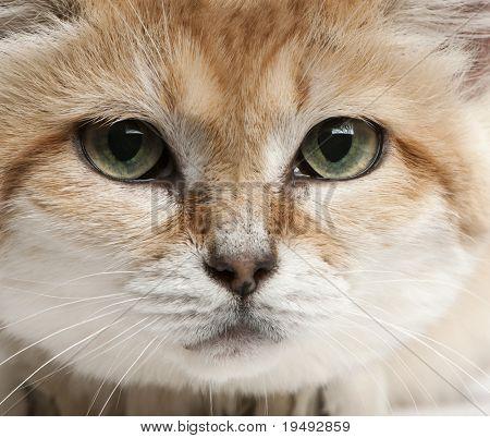 Close-up de areia gato, Felis margarita, 17 anos de idade