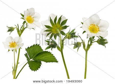 composition of Flower of garden strawberry - Fragaria Ã?Â? ananassa