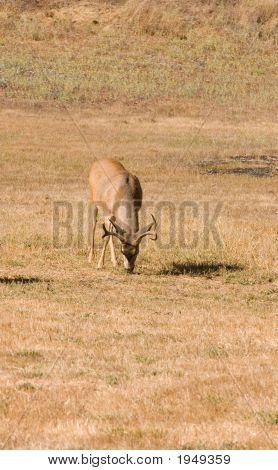 Blacktail Buck Eating