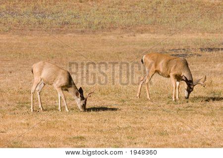Blacktail Bucks Eating