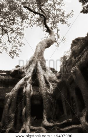Beautiful banyan tree grown over ruin walls at Ta Prohm temple, Angkor, Cambodia, infrared-monochrome image.