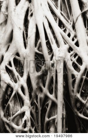 Close-up of parasite tree roots grown over a banyan tree at Ta Prohm temple, Angkor, Cambodia, infrared-monochrome image.